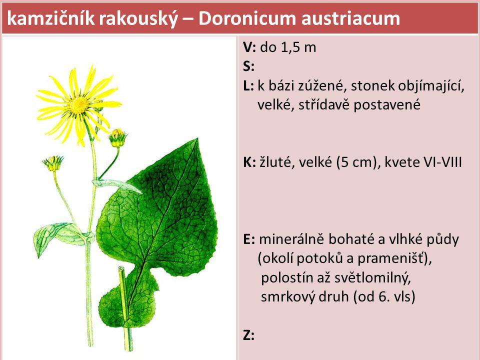 kamzičník rakouský – Doronicum austriacum V: do 1,5 m S: L: k bázi zúžené, stonek objímající, velké, střídavě postavené K: žluté, velké (5 cm), kvete