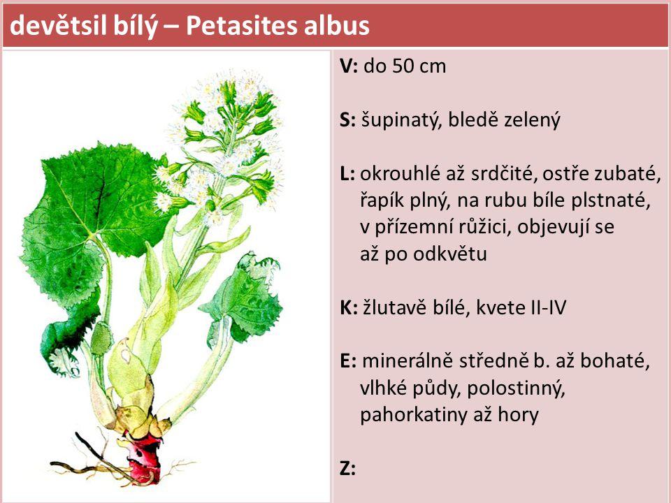 devětsil bílý – Petasites albus V: do 50 cm S: šupinatý, bledě zelený L: okrouhlé až srdčité, ostře zubaté, řapík plný, na rubu bíle plstnaté, v příze