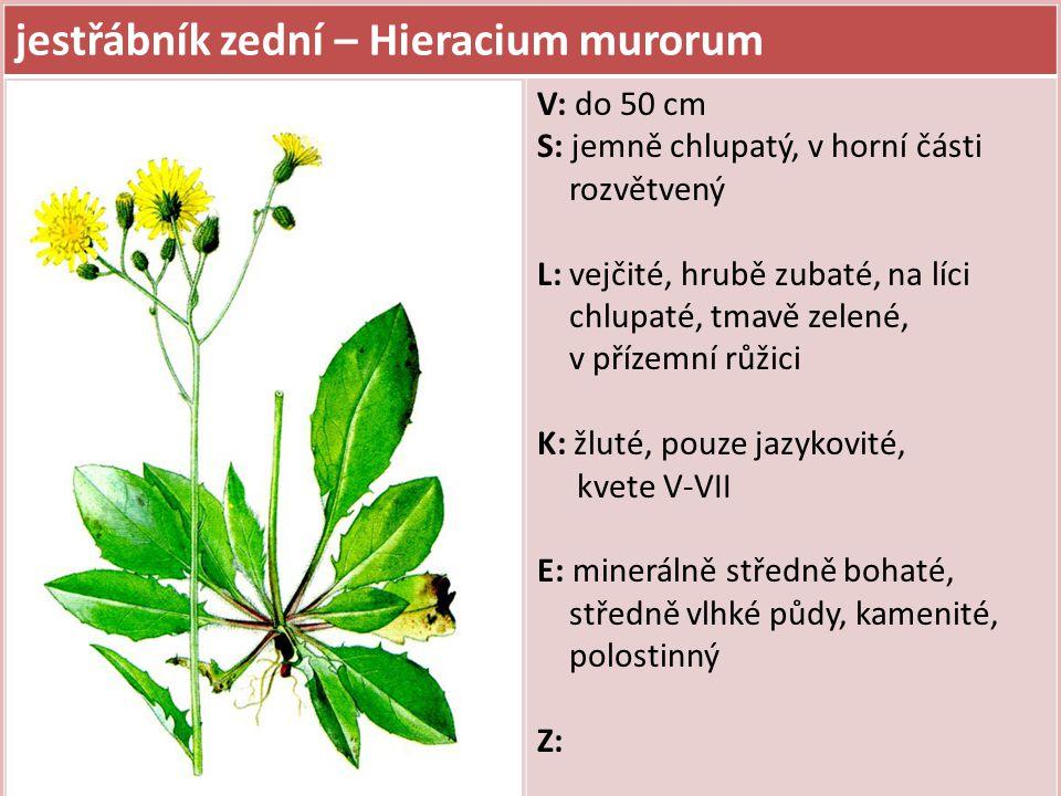 jestřábník zední – Hieracium murorum V: do 50 cm S: jemně chlupatý, v horní části rozvětvený L: vejčité, hrubě zubaté, na líci chlupaté, tmavě zelené,