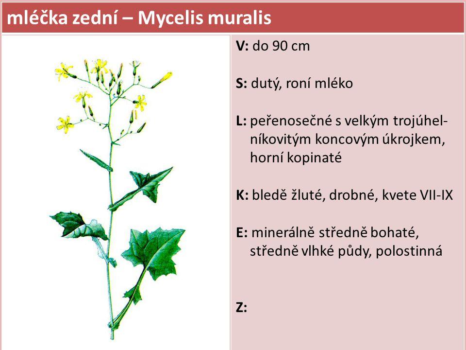 mléčka zední – Mycelis muralis V: do 90 cm S: dutý, roní mléko L: peřenosečné s velkým trojúhel- níkovitým koncovým úkrojkem, horní kopinaté K: bledě