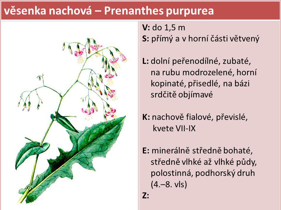věsenka nachová – Prenanthes purpurea V: do 1,5 m S: přímý a v horní části větvený L: dolní peřenodílné, zubaté, na rubu modrozelené, horní kopinaté,