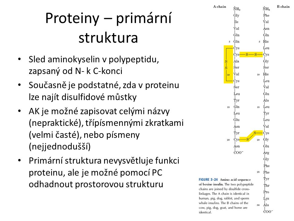 Proteiny – primární struktura Sled aminokyselin v polypeptidu, zapsaný od N- k C-konci Současně je podstatné, zda v proteinu lze najít disulfidové můs