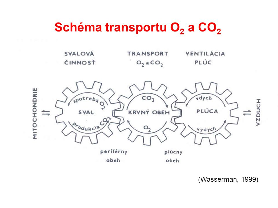 Schéma transportu O 2 a CO 2 (Wasserman, 1999)