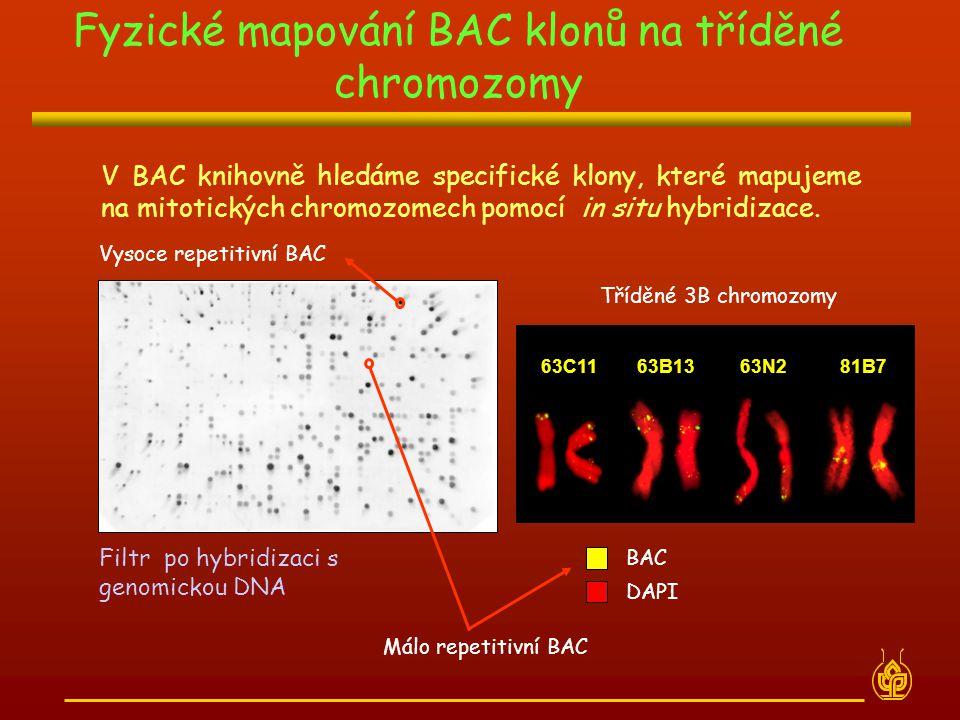 V BAC knihovně hledáme specifické klony, které mapujeme na mitotických chromozomech pomocí in situ hybridizace. Filtr po hybridizaci s genomickou DNA