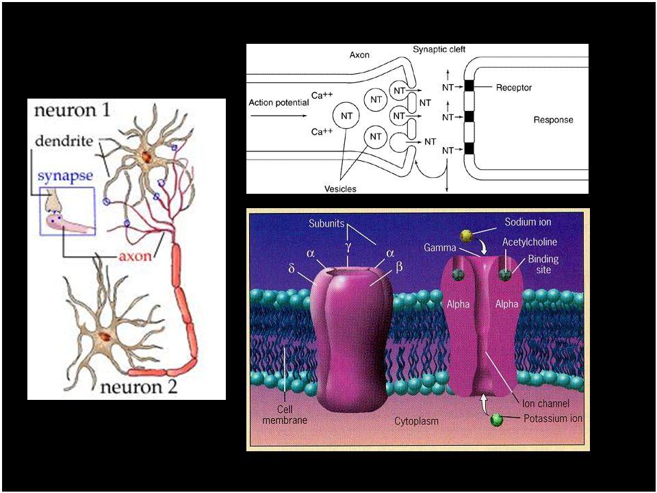 Toxikologie nikotinu Mechanismy účinku stimulace a následné snížení citlivosti nikotinových cholinergních receptorů (nAChR) - tolerance, v mozku dochá