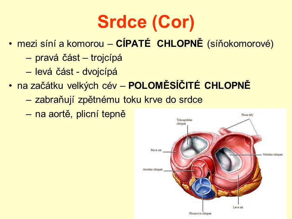 Srdce (Cor) mezi síní a komorou – CÍPATÉ CHLOPNĚ (síňokomorové) –pravá část – trojcípá –levá část - dvojcípá na začátku velkých cév – POLOMĚSÍČITÉ CHLOPNĚ –zabraňují zpětnému toku krve do srdce –na aortě, plicní tepně
