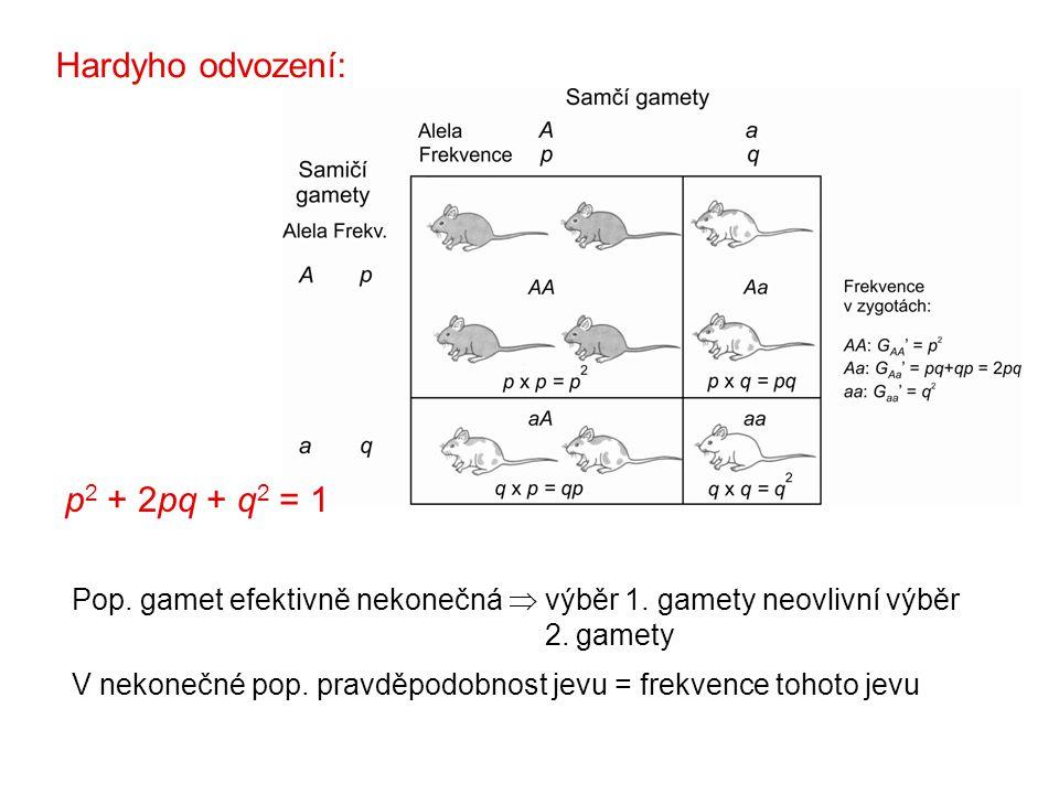 Pop. gamet efektivně nekonečná  výběr 1. gamety neovlivní výběr 2. gamety V nekonečné pop. pravděpodobnost jevu = frekvence tohoto jevu p 2 + 2pq + q