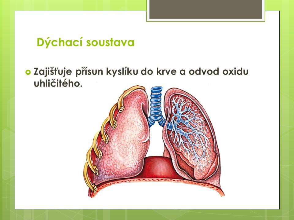 Dýchací soustava  Zajišťuje přísun kyslíku do krve a odvod oxidu uhličitého.