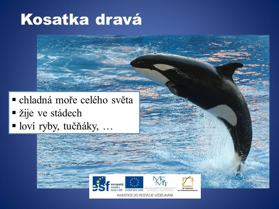 Delfín obecný  v evropských mořích  nejhojnější  živí se dravě (ryby)  plavou v hejnech