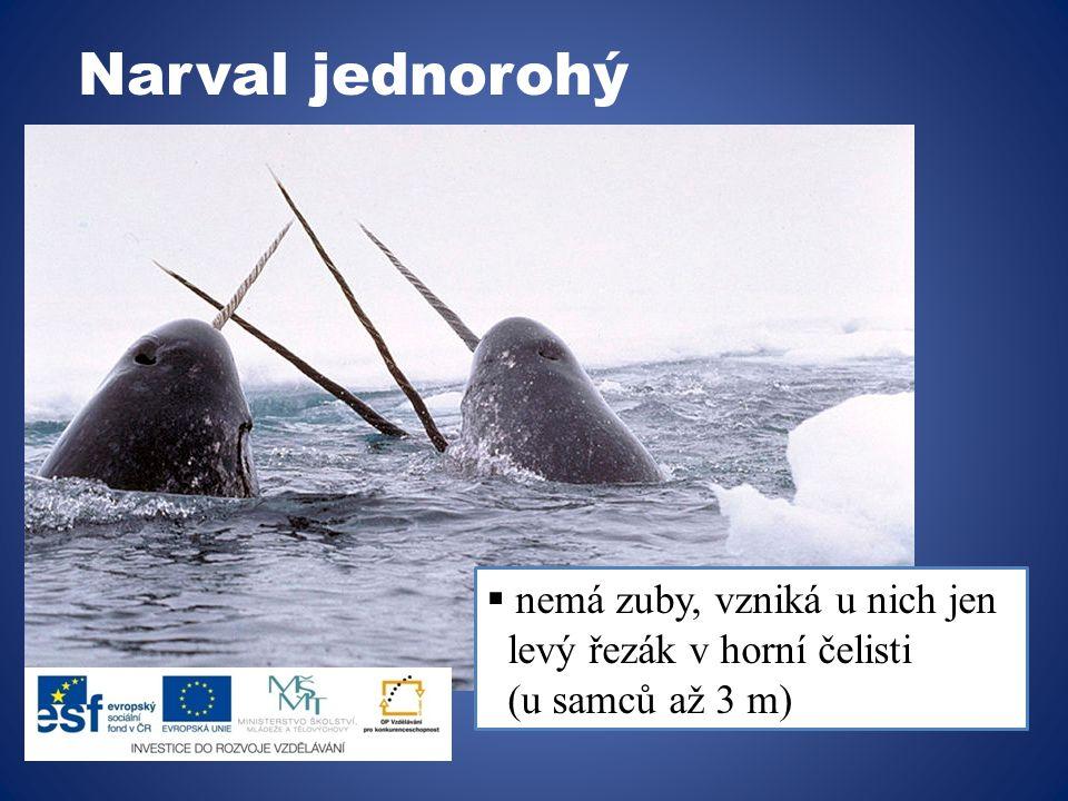 Vorvaň tuponosý  obývá teplejší vody  největší ozubený kytovec  živí se převážně hlavonožci  potápí se o do hloubek 1000m