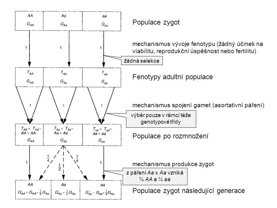 Fenotypy adultní populace Populace zygot Populace po rozmnožení mechanismus spojení gamet (asortativní páření) mechanismus vývoje fenotypu (žádný účin