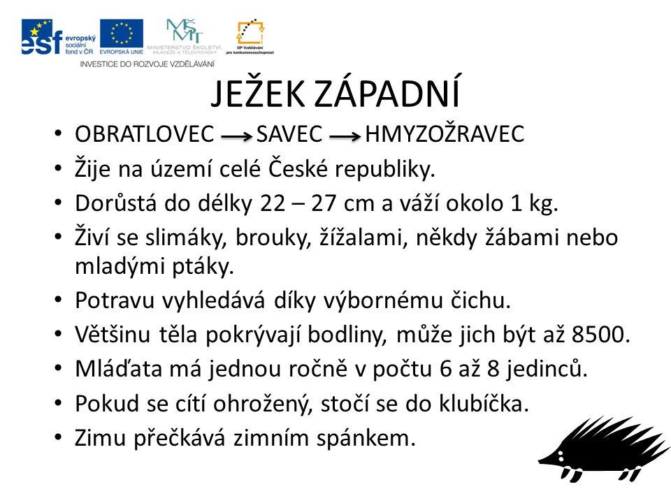 JEŽEK ZÁPADNÍ OBRATLOVEC SAVEC HMYZOŽRAVEC Žije na území celé České republiky. Dorůstá do délky 22 – 27 cm a váží okolo 1 kg. Živí se slimáky, brouky,
