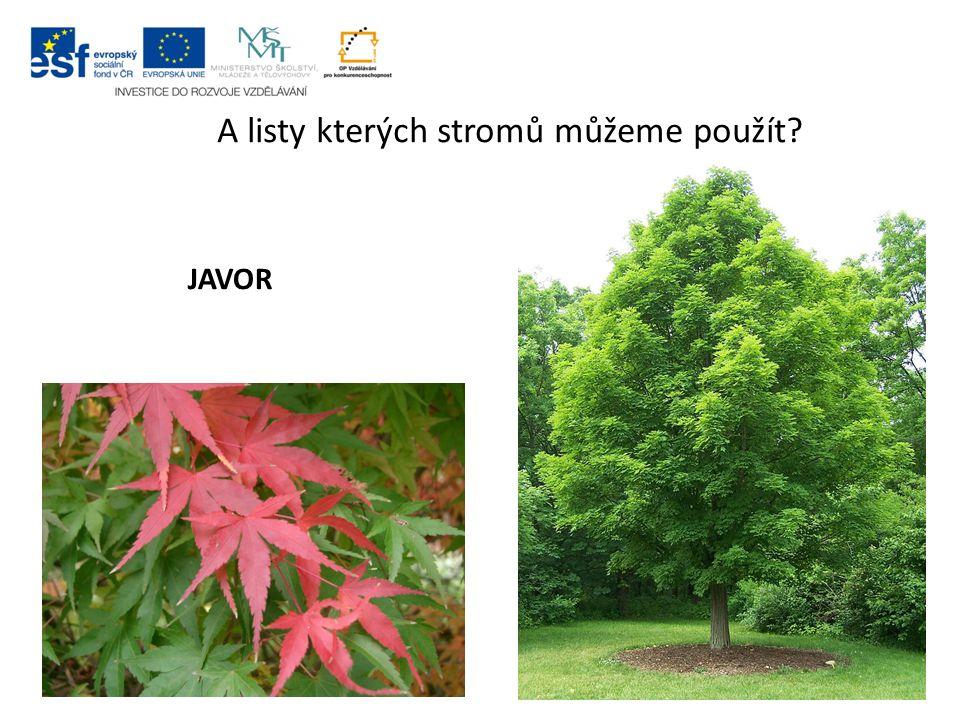 A listy kterých stromů můžeme použít? JAVOR