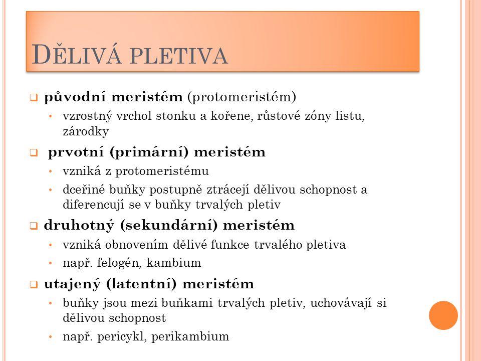 D ĚLIVÁ PLETIVA  původní meristém (protomeristém) vzrostný vrchol stonku a kořene, růstové zóny listu, zárodky  prvotní (primární) meristém vzniká z
