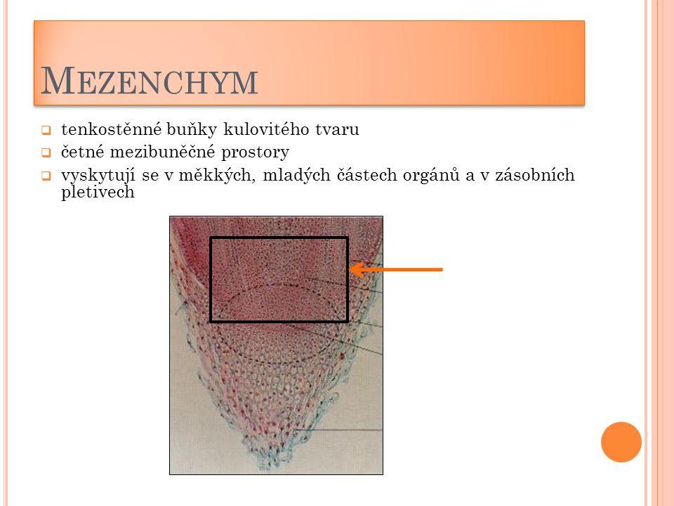 M EZENCHYM  tenkostěnné buňky kulovitého tvaru  četné mezibuněčné prostory  vyskytují se v měkkých, mladých částech orgánů a v zásobních pletivech