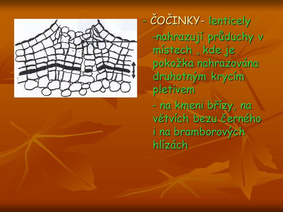 - ČOČINKY- lenticely -nahrazují průduchy v místech, kde je pokožka nahrazována druhotným krycím pletivem -nahrazují průduchy v místech, kde je pokožka