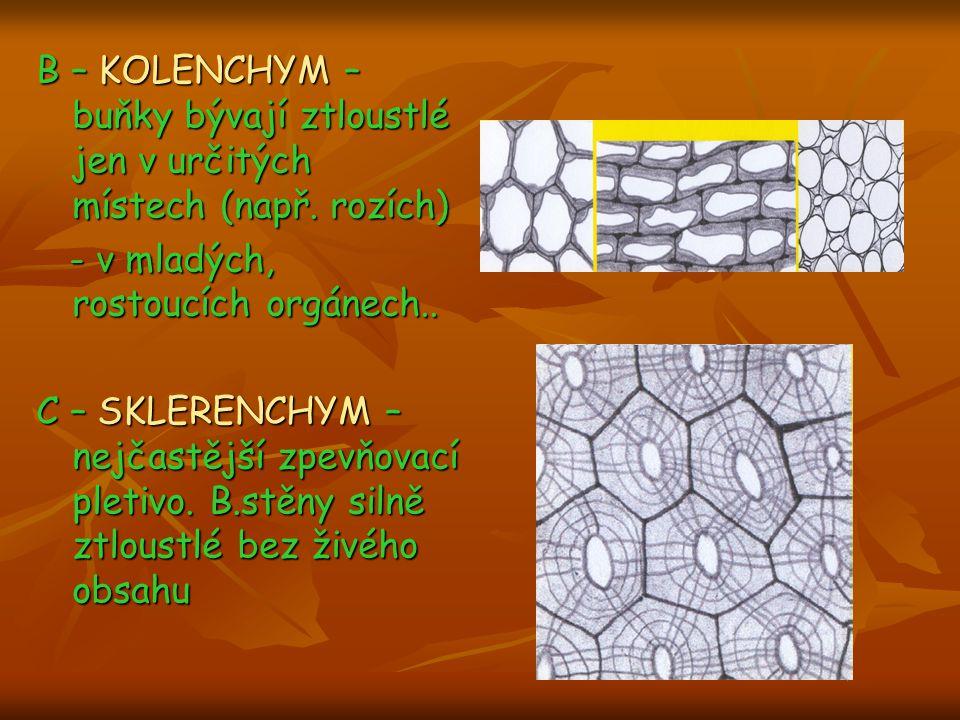 B – KOLENCHYM – buňky bývají ztloustlé jen v určitých místech (např. rozích) - v mladých, rostoucích orgánech.. C – SKLERENCHYM – nejčastější zpevňova
