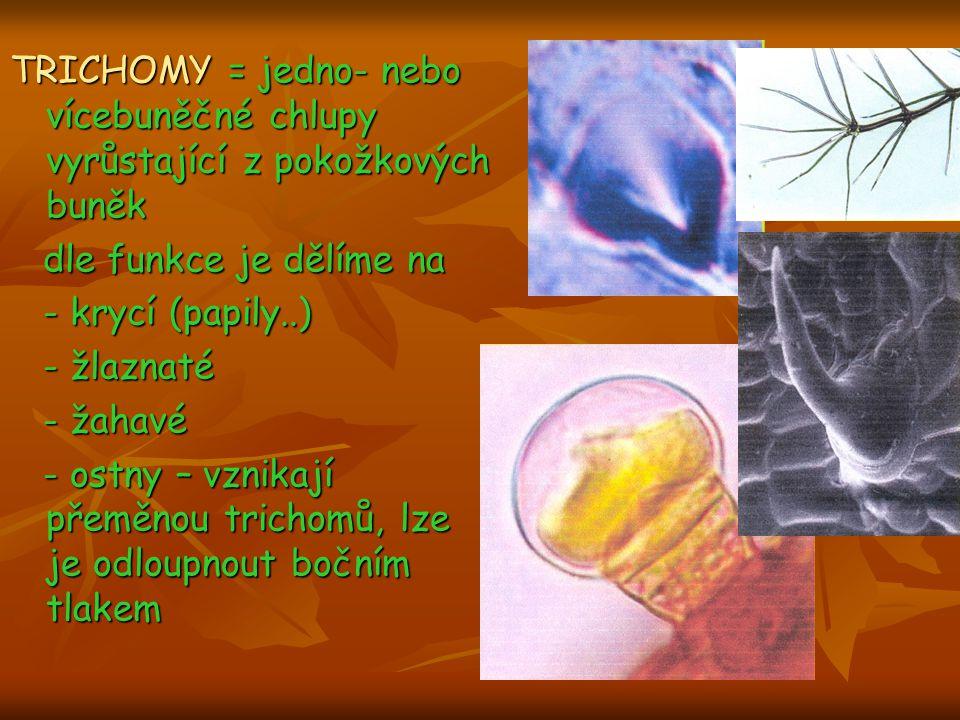 TRICHOMY = jedno- nebo vícebuněčné chlupy vyrůstající z pokožkových buněk dle funkce je dělíme na dle funkce je dělíme na - krycí (papily..) - krycí (