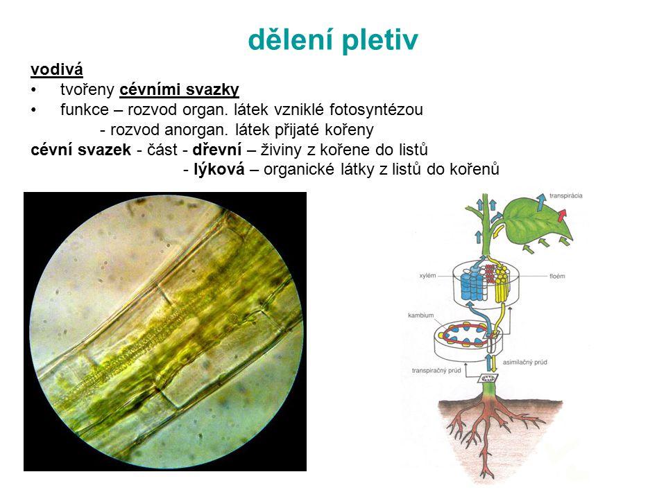 dělení pletiv vodivá tvořeny cévními svazky funkce – rozvod organ. látek vzniklé fotosyntézou - rozvod anorgan. látek přijaté kořeny cévní svazek - čá