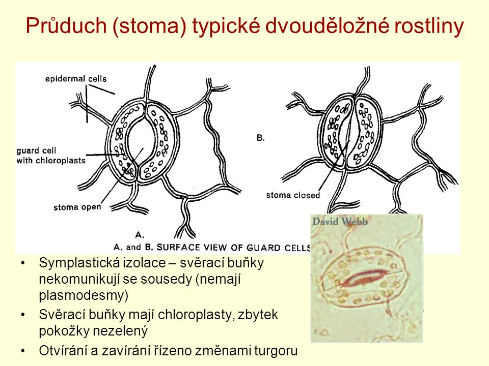 Průduch (stoma) typické dvouděložné rostliny Symplastická izolace – svěrací buňky nekomunikují se sousedy (nemají plasmodesmy) Svěrací buňky mají chlo