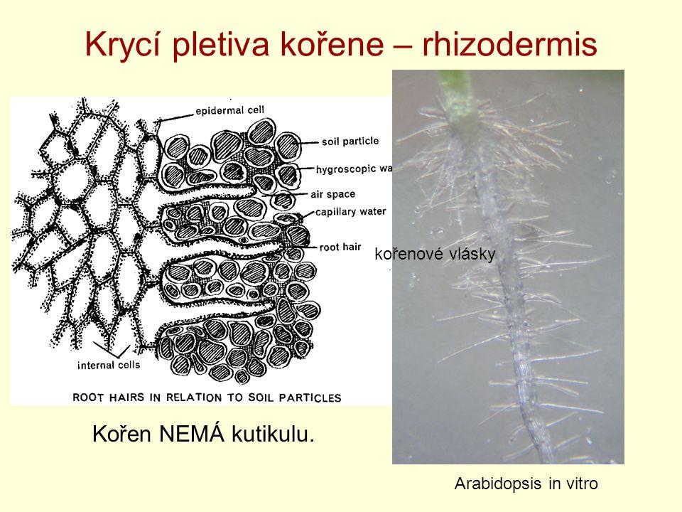 Krycí pletiva kořene – rhizodermis Kořen NEMÁ kutikulu. Arabidopsis in vitro kořenové vlásky