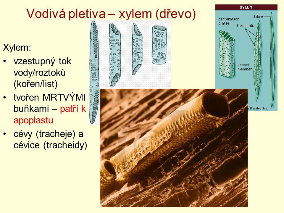 Vodivá pletiva – xylem (dřevo) Xylem: vzestupný tok vody/roztoků (kořen/list) tvořen MRTVÝMI buňkami – patří k apoplastu cévy (tracheje) a cévice (tra
