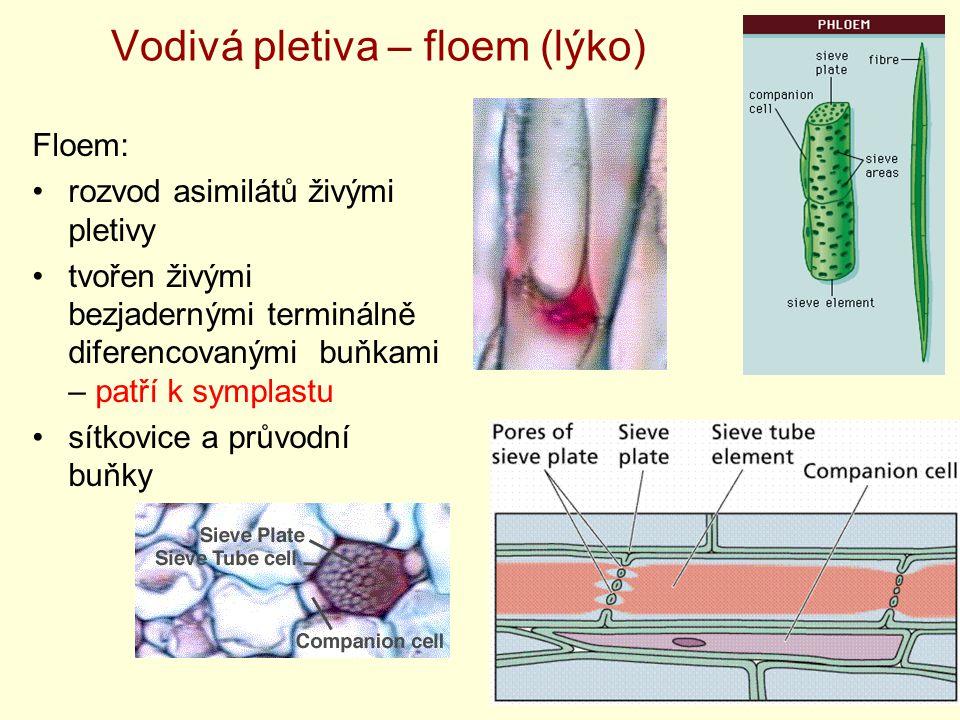 Vodivá pletiva – floem (lýko) Floem: rozvod asimilátů živými pletivy tvořen živými bezjadernými terminálně diferencovanými buňkami – patří k symplastu