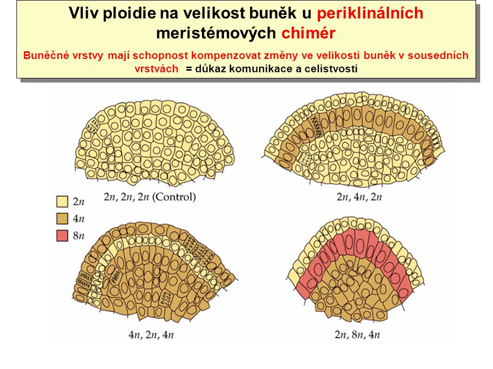 Vliv ploidie na velikost buněk u periklinálních meristémových chimér Buněčné vrstvy mají schopnost kompenzovat změny ve velikosti buněk v sousedních v