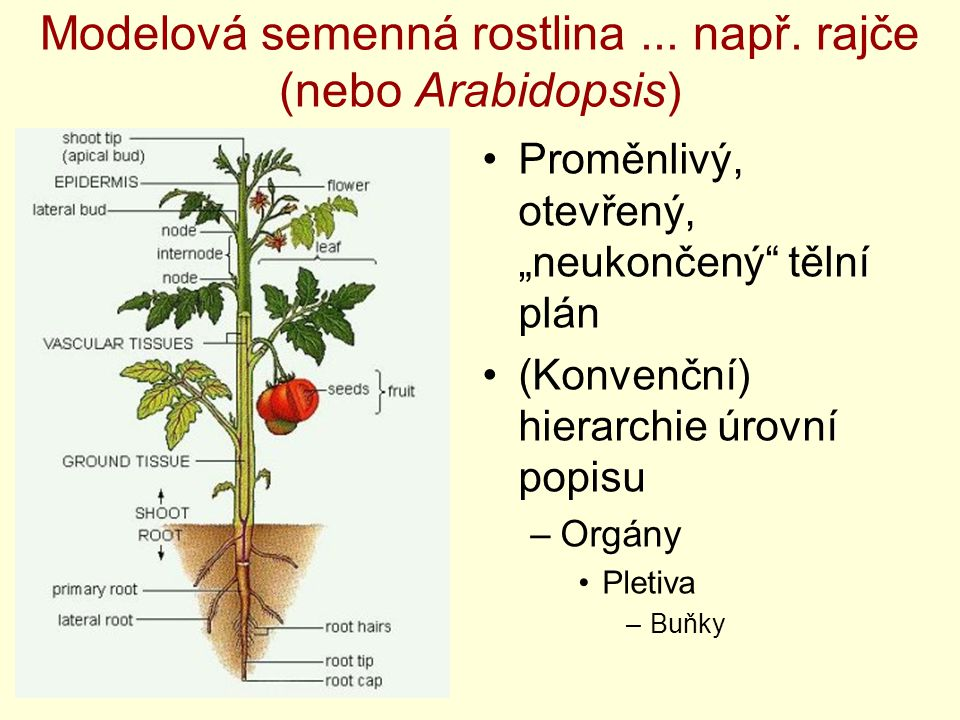 """Modelová semenná rostlina... např. rajče (nebo Arabidopsis) Proměnlivý, otevřený, """"neukončený"""" tělní plán (Konvenční) hierarchie úrovní popisu –Orgány"""
