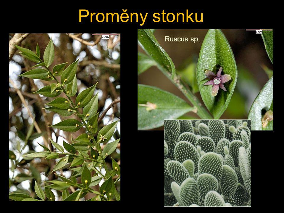 Proměny stonku Ruscus sp.