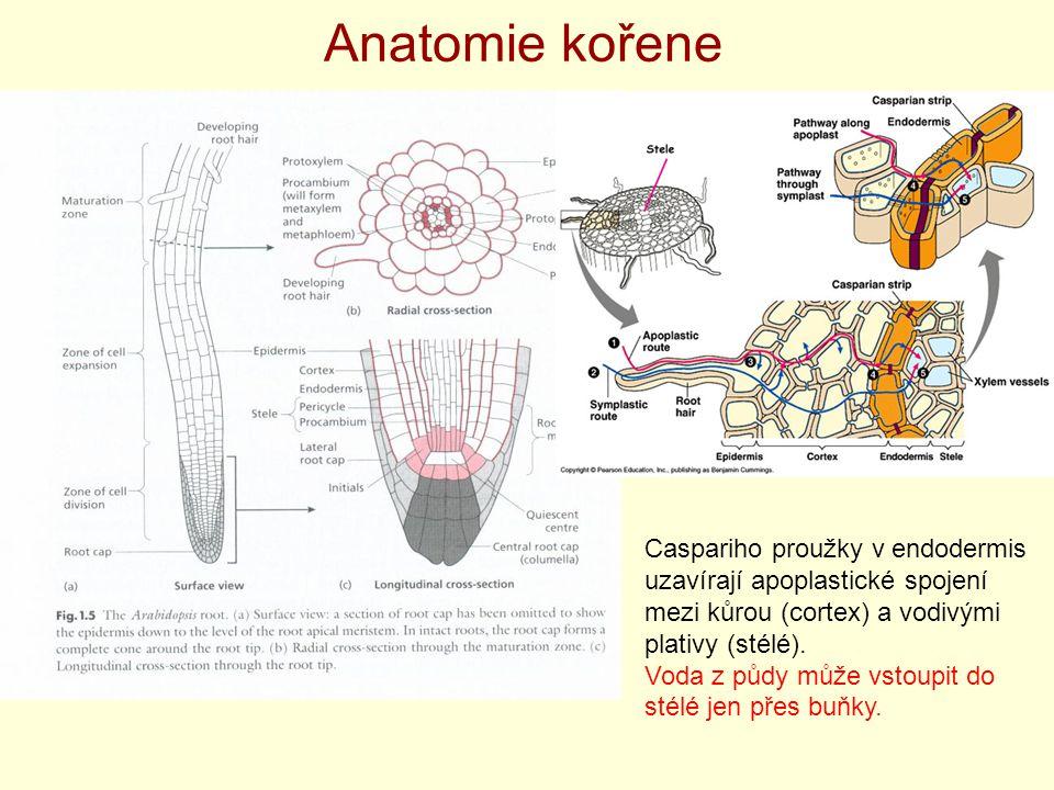 Anatomie kořene Caspariho proužky v endodermis uzavírají apoplastické spojení mezi kůrou (cortex) a vodivými plativy (stélé). Voda z půdy může vstoupi