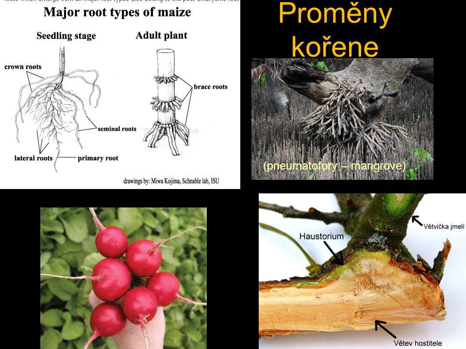 Proměny kořene (pneumatofory – mangrove)