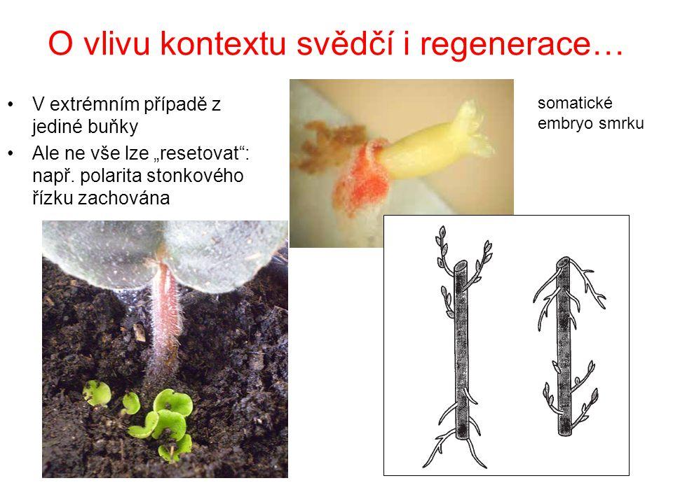 """O vlivu kontextu svědčí i regenerace… V extrémním případě z jediné buňky Ale ne vše lze """"resetovat"""": např. polarita stonkového řízku zachována somatic"""