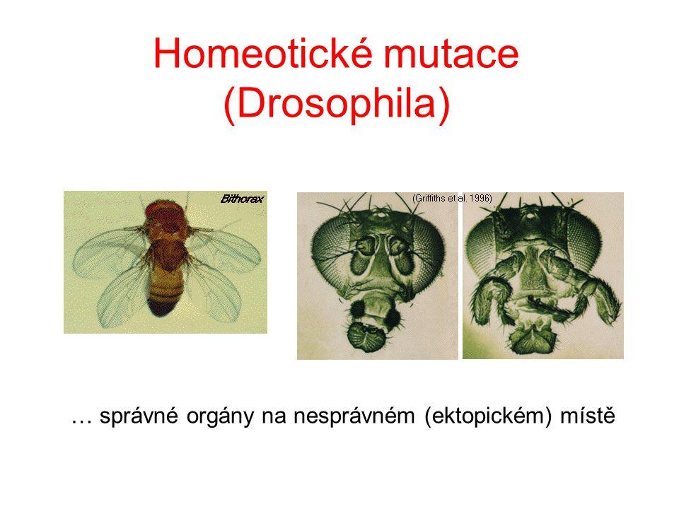 Homeotické mutace (Drosophila) … správné orgány na nesprávném (ektopickém) místě