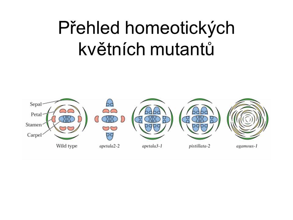 Přehled homeotických květních mutantů