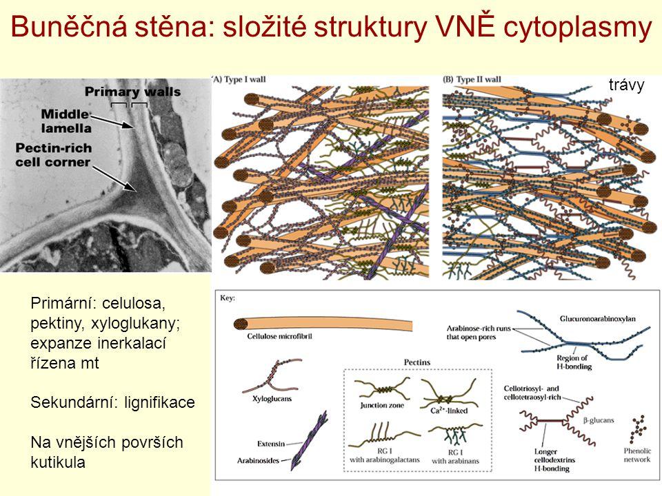 Buněčná stěna: složité struktury VNĚ cytoplasmy Primární: celulosa, pektiny, xyloglukany; expanze inerkalací řízena mt Sekundární: lignifikace Na vněj