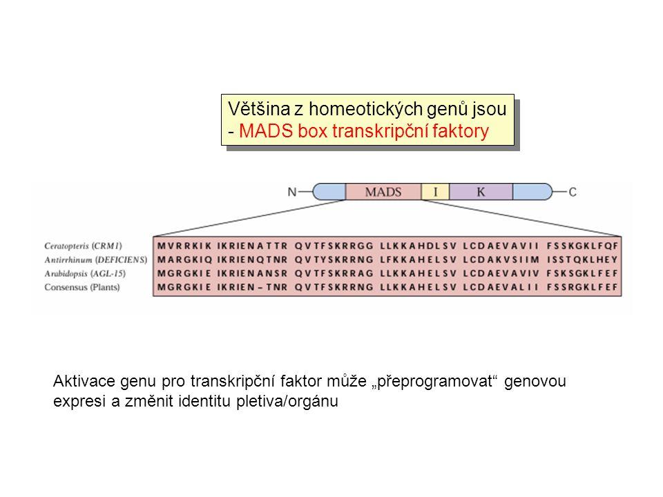 """Většina z homeotických genů jsou - MADS box transkripční faktory Aktivace genu pro transkripční faktor může """"přeprogramovat"""" genovou expresi a změnit"""