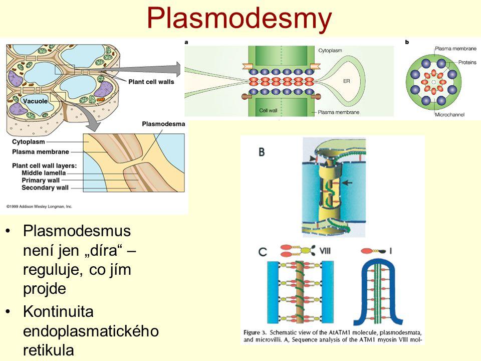 """Plasmodesmy Plasmodesmus není jen """"díra"""" – reguluje, co jím projde Kontinuita endoplasmatického retikula"""