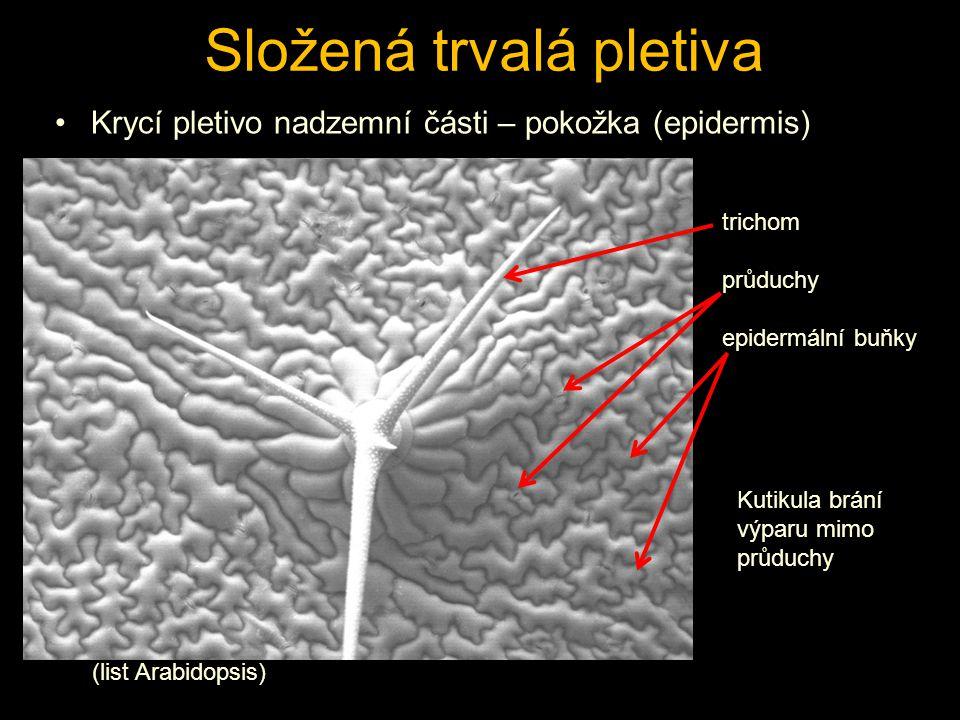 Složená trvalá pletiva Krycí pletivo nadzemní části – pokožka (epidermis) (list Arabidopsis) trichom průduchy epidermální buňky Kutikula brání výparu