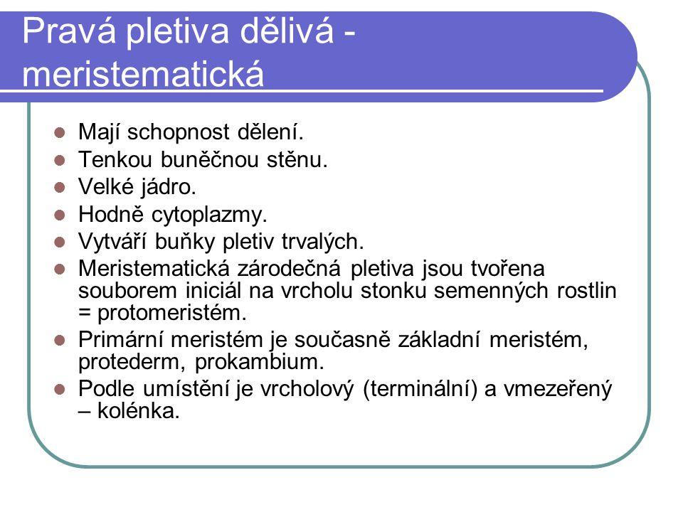 Druhotné dělivé pletivo Vzniká obnovením dělivé schopnosti trvalého pletiva.