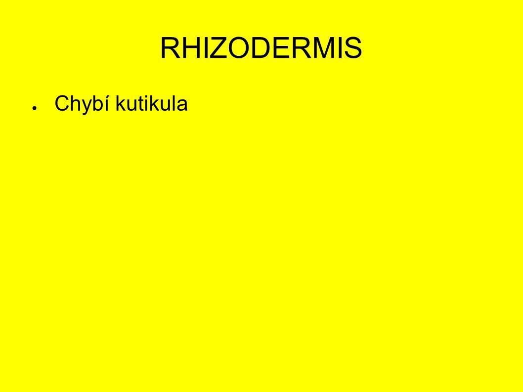 RHIZODERMIS ● Chybí kutikula