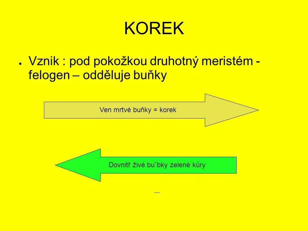 KOREK ● Vznik : pod pokožkou druhotný meristém - felogen – odděluje buňky Ven mrtvé buňky = korekDovnitř živé buˇbky zelené kůry