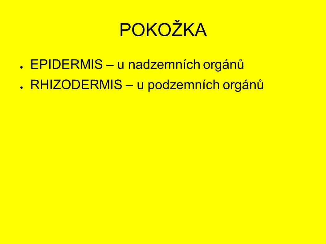 POKOŽKA ● EPIDERMIS – u nadzemních orgánů ● RHIZODERMIS – u podzemních orgánů