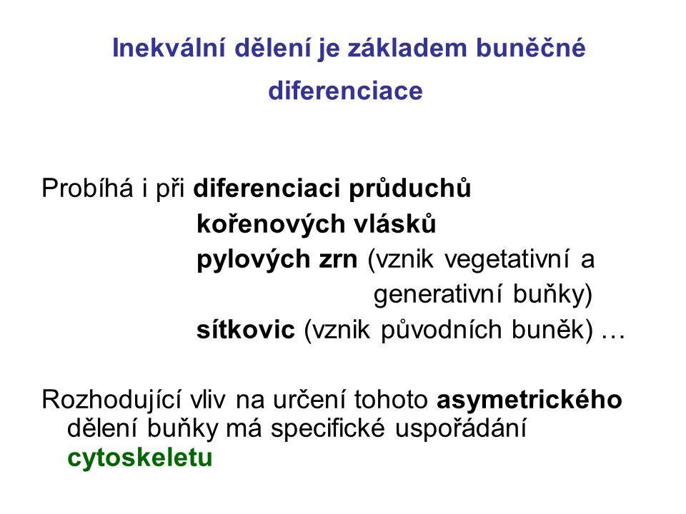 Inekvální dělení je základem buněčné diferenciace Probíhá i při diferenciaci průduchů kořenových vlásků pylových zrn (vznik vegetativní a generativní