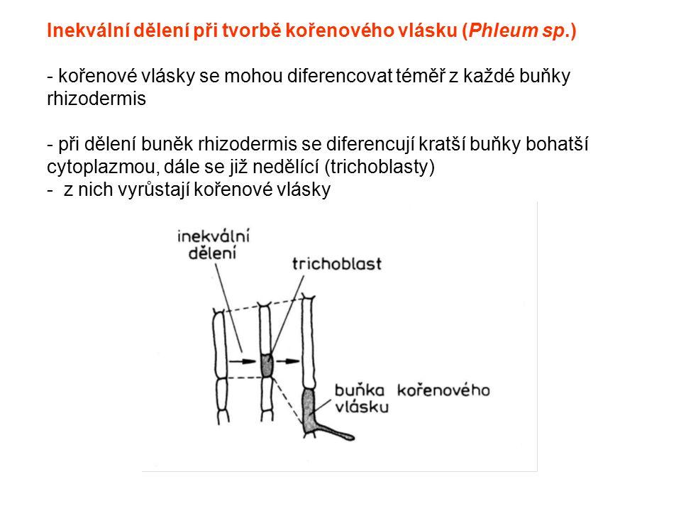 Inekvální dělení při tvorbě kořenového vlásku (Phleum sp.) - kořenové vlásky se mohou diferencovat téměř z každé buňky rhizodermis - při dělení buněk