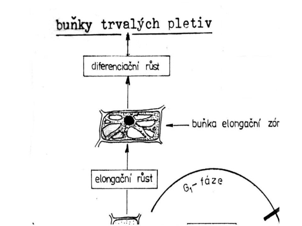 Syntetické fyziologicky aktivní látky CCC - (chlorcholin chlorid) se považuje za antigiberelin - omezuje růst lodyhy podporuje růst kořenů brzdí syntézu GA a auxinů (podporuje větvení, odnožování, zkracuje stéblo) TIBA - kyselina 2,3,5-trijódbenzoová antiauxin brzdí transport auxinů zeslabuje růst vrcholu podporuje větvení lodyhy urychluje tvorbu květů a hlíz