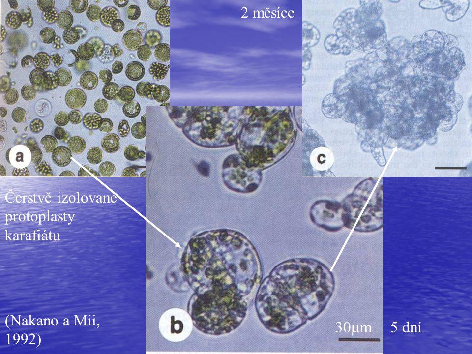 Čerstvě izolované protoplasty karafiátu (Nakano a Mii, 1992) 30  m 2 měsíce 5 dní