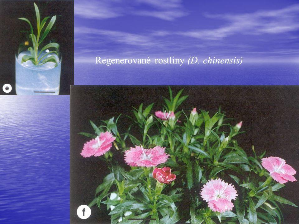 Regenerované rostliny (D. chinensis)