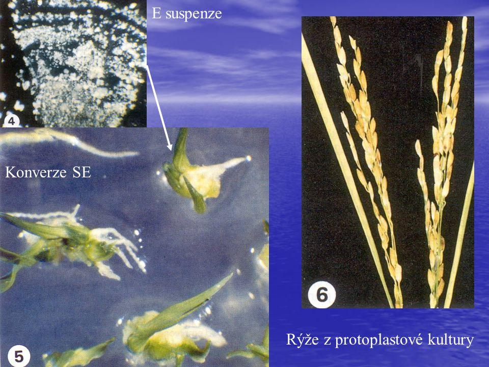 Rýže z protoplastové kultury Konverze SE E suspenze
