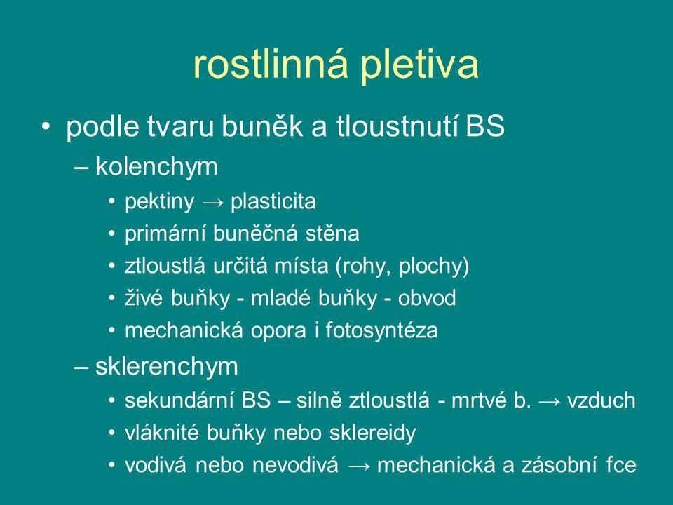 rostlinná pletiva podle tvaru buněk a tloustnutí BS –kolenchym pektiny → plasticita primární buněčná stěna ztloustlá určitá místa (rohy, plochy) živé